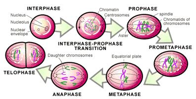 Mitosis What are chromosomes made of - Progress Essays
